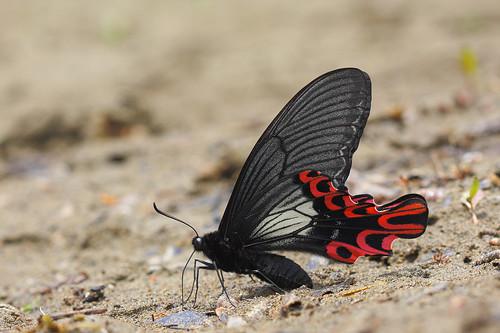 想要觀察台灣的國寶台灣寬尾鳳蝶,沒有掌握好天氣及發生期幾乎是不可能遇見的。