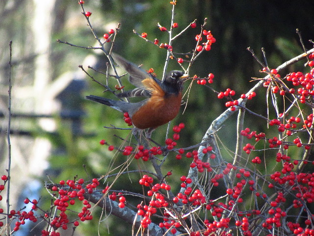 Robin on winterberry 12:13:13