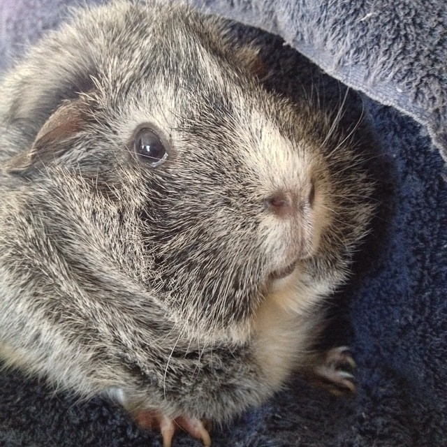 Beatrice, you are so ridiculously cute. #guineapig #cavy