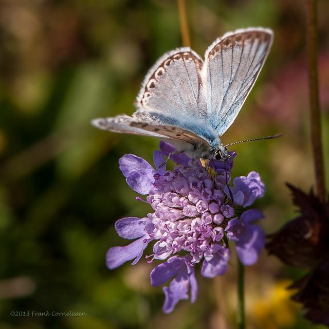 Provençaals bleek blauwtje, summer memories