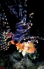 ambonfish0015