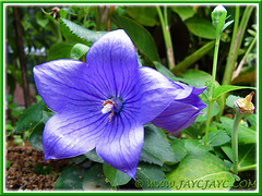 Platycodon grandiflorus (Balloon Flowers) with beautiful purple flowers, 22 Dec 2013