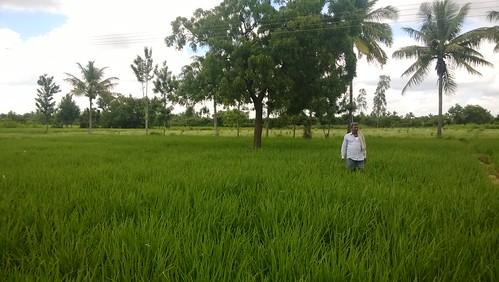 rice kolar