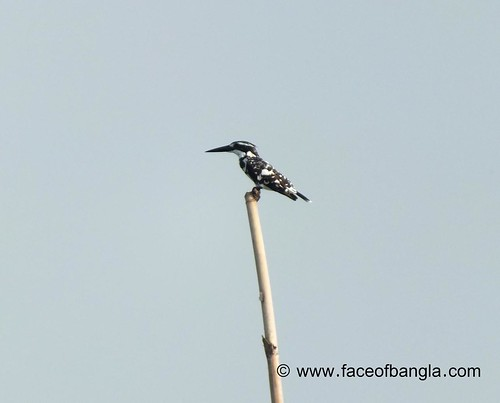 White kingfisher