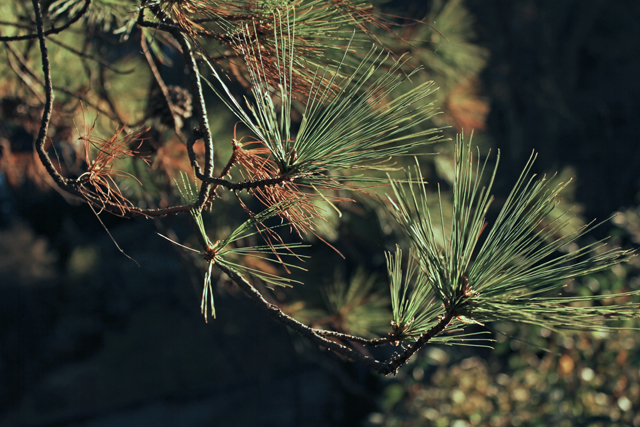 Pine Needles in the afternoon light