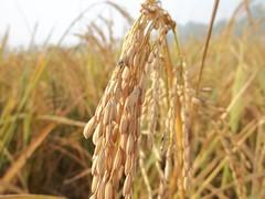 Wheat / Farm / Field