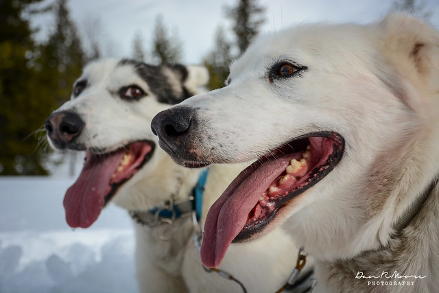 A Day of Husky Dog Sledding - Huskies