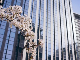 Cherry blossoms along the Dojima river No.2.