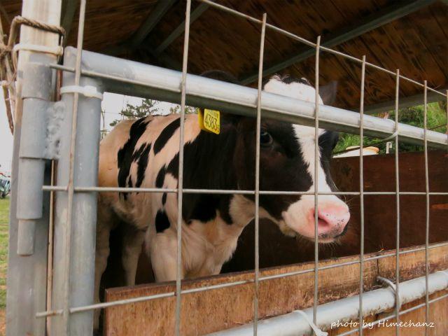 石垣島では珍しいホルスタインの子牛がいましたw