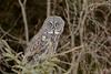 Great Gray Owl-44366.jpg