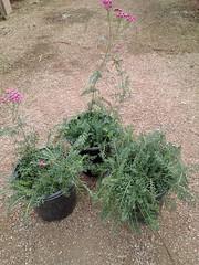 Achillea millefolium 'Summer Wine' 1g -bm SKU 1001-724-795
