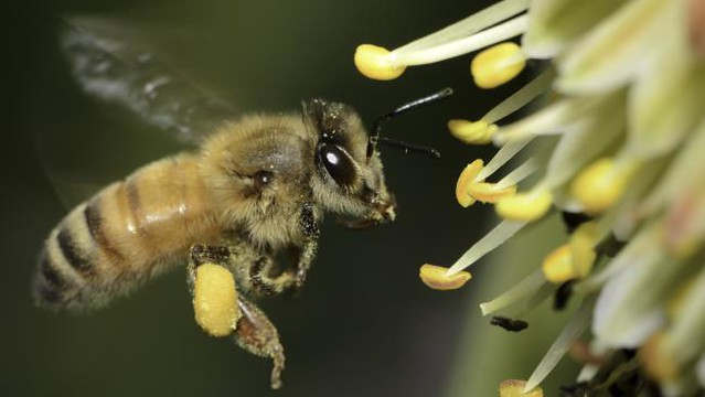 They are create pollinating drones in the event of honey bee extinction