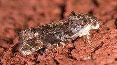 Sparkling Aterpia Moth