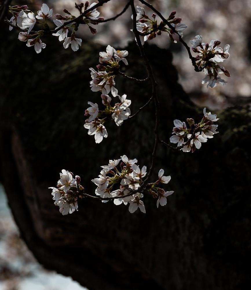 2017 华盛顿樱花-8