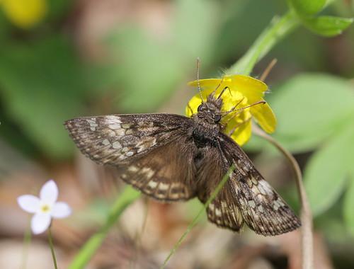 insect butterfly lepidoptera hesperidae pyrginae erynnis erynnisjuvenalis juvenalsduskywing northcarolina piedmont fieldtrip cbs20170415 sigma150mmexdgf28macro bmna april