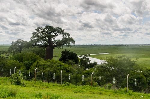 baobab botswana kwando landscape river tree zambeziregion