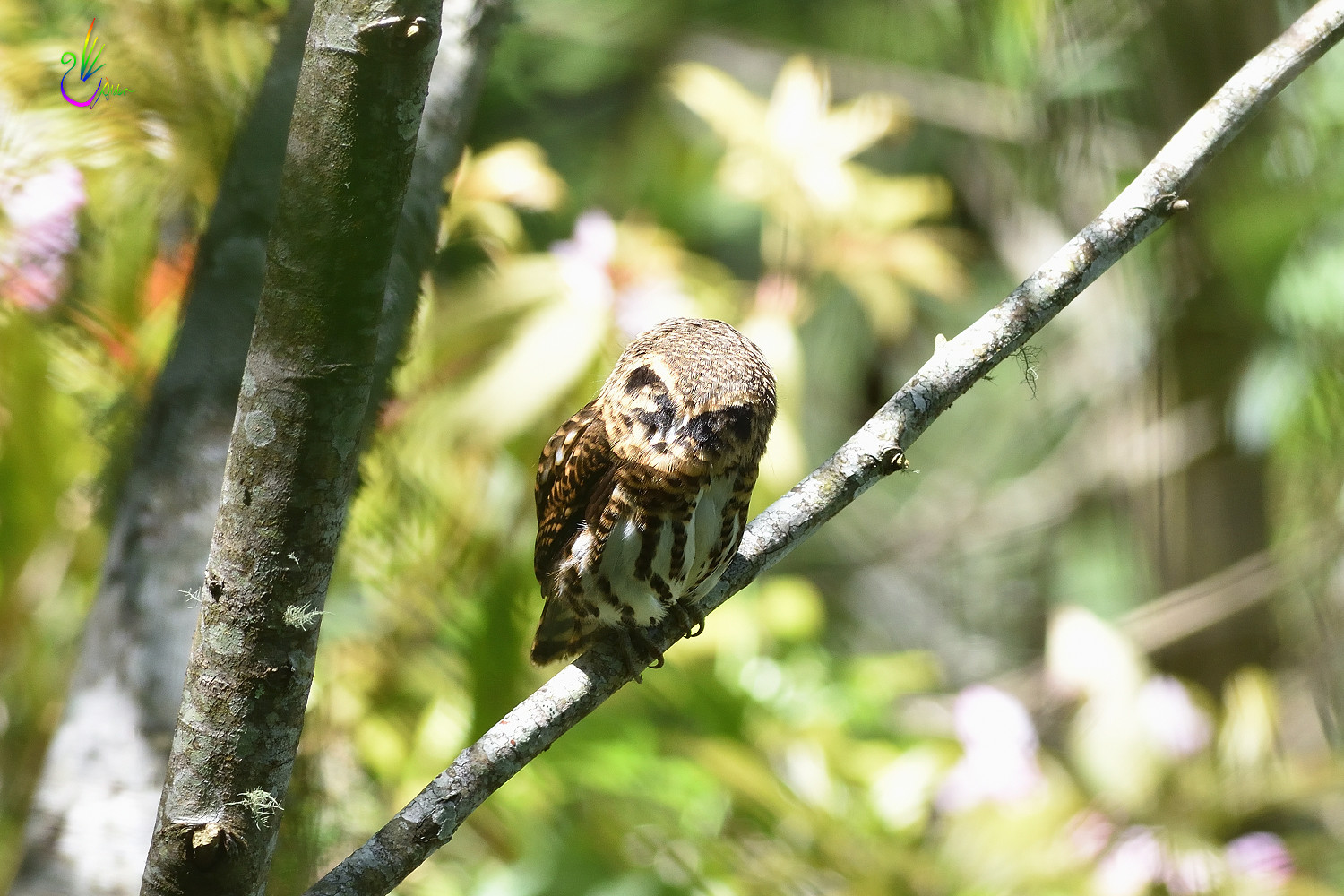 Collared_Pigmy_Owlet_4068