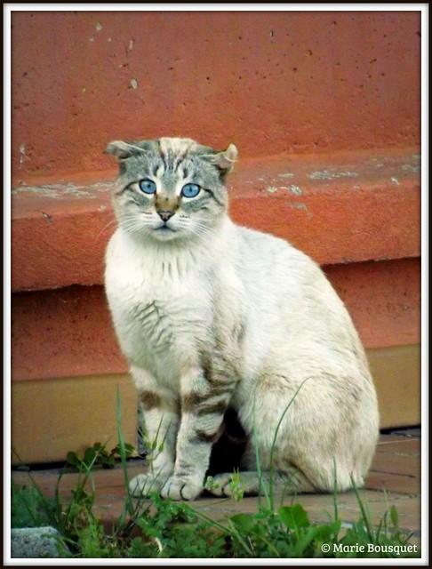 Le chat aux yeux bleus et aux oreilles aplaties