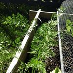 carrot planting in Vege garden plot 2 by shiny