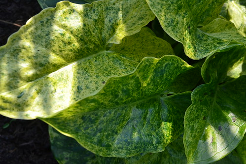 ARUM italicum ssp. neglectum 'Miss Janay Hall'