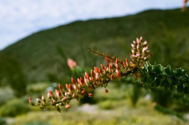 Fouquieria splendens closeup