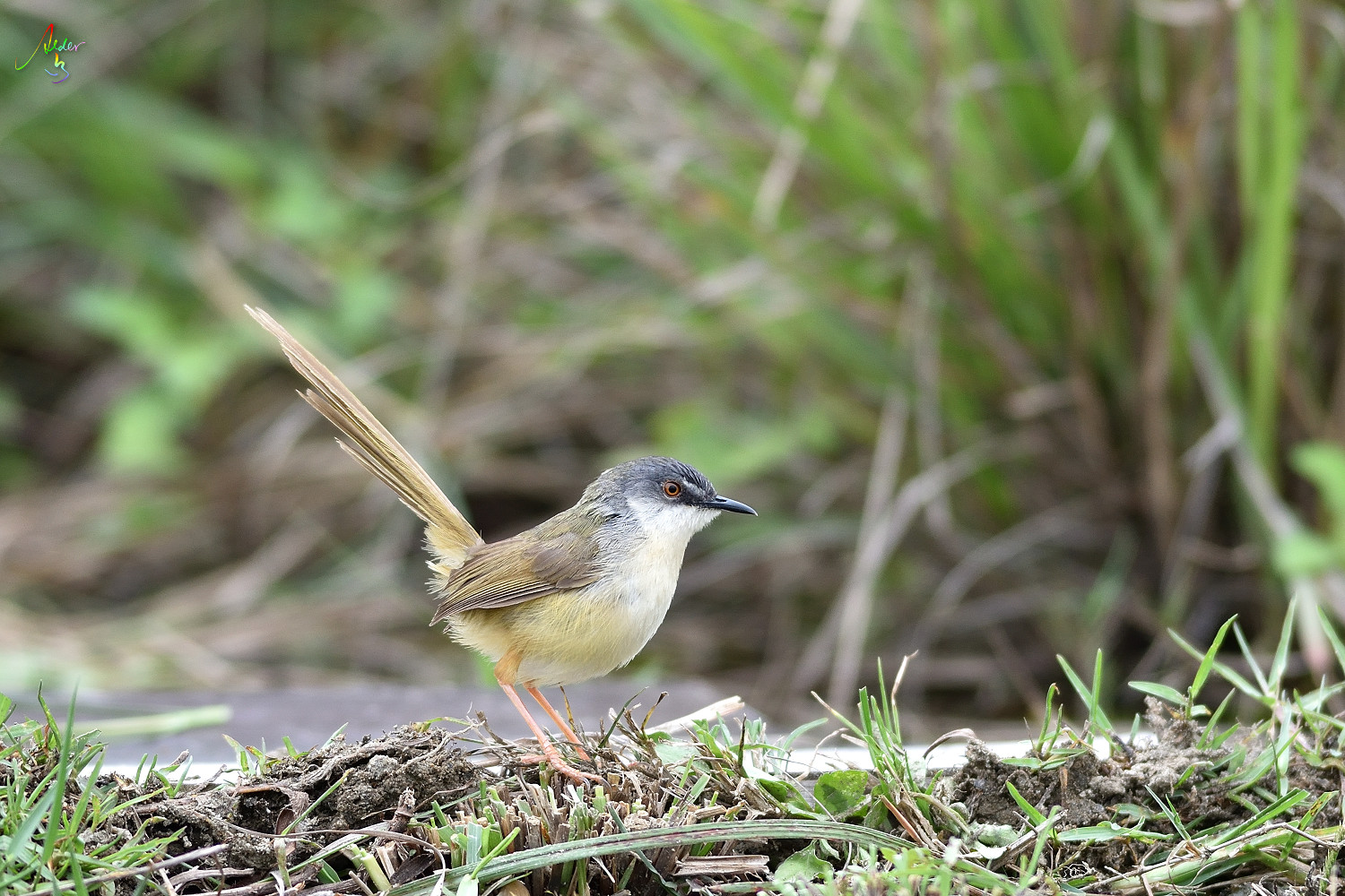 Yellow-bellied_Prinia_3557