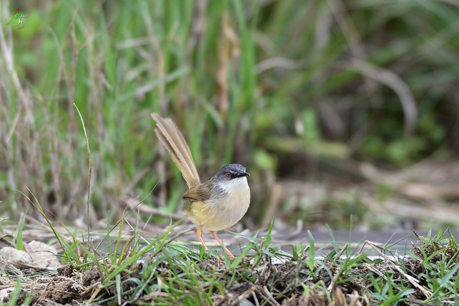 Yellow-bellied_Prinia_3257