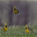 Frisky Western  Meadowlark Males by jackalope22