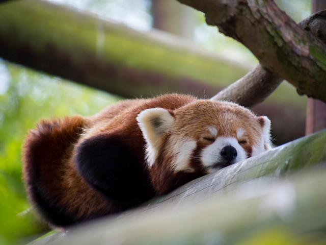 Sleepy Panda - Lumix G Vario 300mm F/5.6