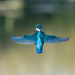 Kingfisher by Steve (Hooky) Waddingham