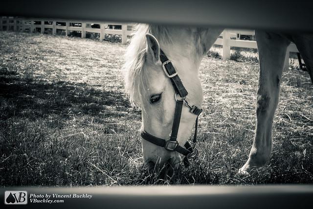 Suspicious White Horse