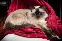 Mitsuko the Himalayan Cat