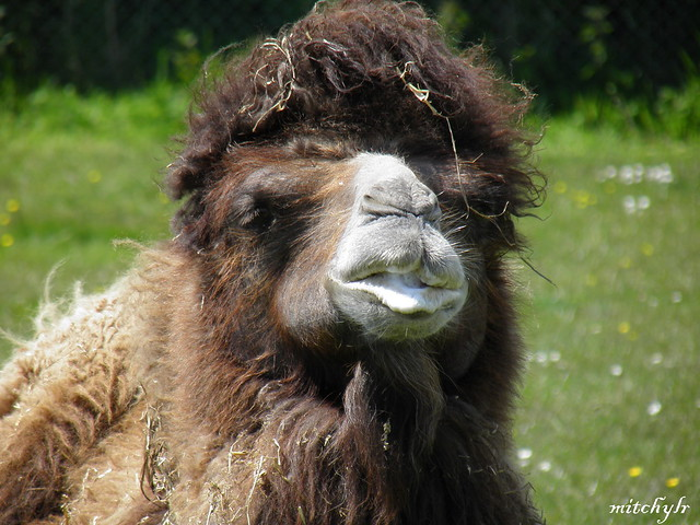 Bactrian Camel 2