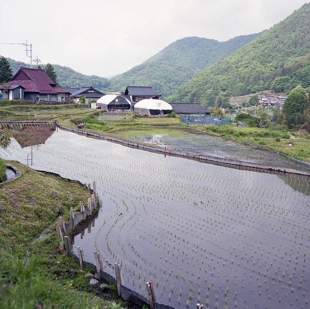 planting of young rice plants 田植え