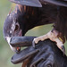 Wedge-tailed Eagle and Handler by sufw