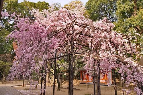 【写真】桜 : 御香宮神社