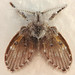 Psychodidae (Moth Flies and Sand Flies)