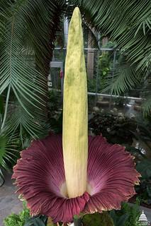 Image of a Titan arum plant