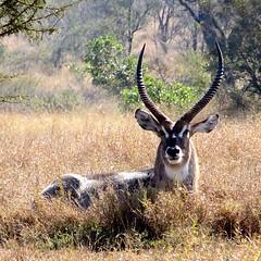animal, prairie, antelope, mammal, horn, waterbuck, fauna, grassland, safari, wildlife,