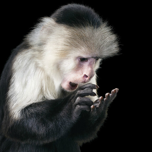 Tim Flach Monkey