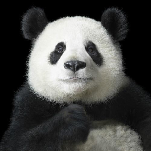 Tim Flach Panda Bear