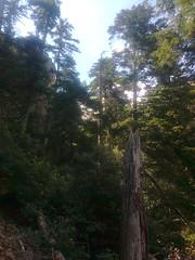 Remontée du ravin de Bonifacio : au-dessus de la cascade délitée, sous les laricii