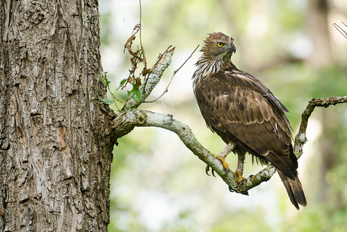 Changeable Hawk-Eagle or Crested Hawk-Eagle (Nisaetus cirrhatus)