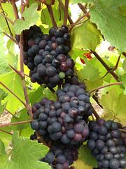 La vigne au 22 septembre 2013