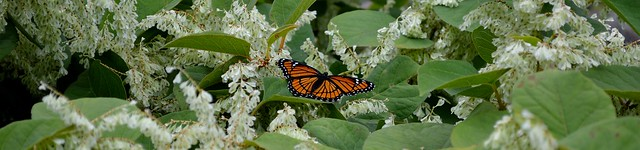 Monarch Butterfly on Japanese Knotweed