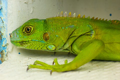 african chameleon(0.0), lacerta(0.0), lacertidae(0.0), animal(1.0), green lizard(1.0), reptile(1.0), lizard(1.0), green(1.0), fauna(1.0), close-up(1.0), dactyloidae(1.0), iguana(1.0), scaled reptile(1.0),