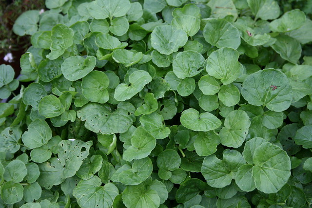 Easy watercress
