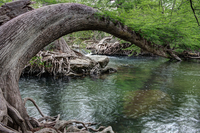 HDR Tree over Guadalupe River
