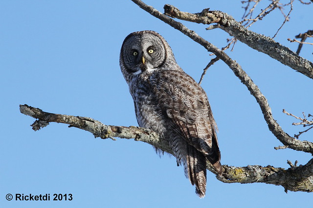 *** chouette lapone-great gray owl
