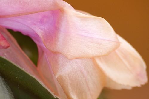 pink cactus plant flower macro closeup newjersey unitedstates christmascactus bud cactaceae schlumbergera cherryhill caryophyllales thanksgivingcactus cultivar holidaycactus crabcactus schlumbergerasp